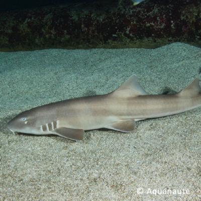 requin_chabot_bambou